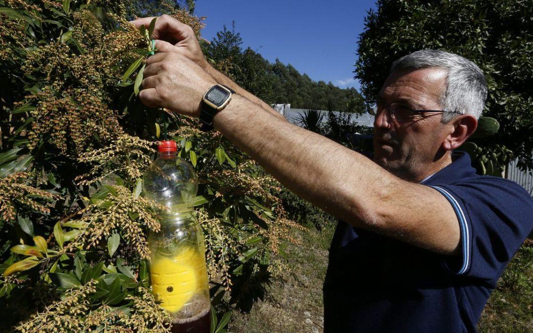 O Valadouro, primer Concello galego casi libre de velutina